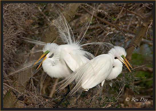 Great Egret Pair, Courtship Display, High Island